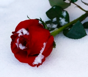 iced rose