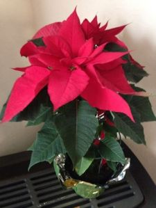 Daddy's Poinsettia